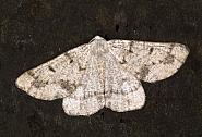 70.292 Grey Scalloped Bar, Dyscia fagaria