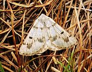 Grey Scalloped Bar, Dyscia fagaria, Co Antrim