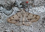 Grey Scalloped Bar, Dyscia fagaria, Co Donegal
