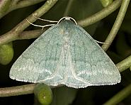 70.297 Grass Emerald, Pseudoterpna pruinata, Co Louth