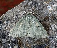 70.297 Grass Emerald, Pseudoterpna pruinata, Co. Leitrim