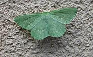 70.299 Large Emerald, Geometra papilionaria, Co Sligo
