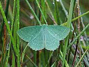 Large Emerald, Geometra papilionaria, Co Donegal