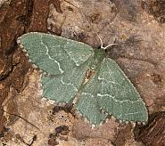 70.305 Common Emerald, Hemithea aestivaria