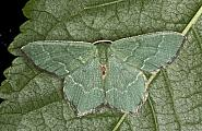 70.305 Common Emerald, Hemithea aestivaria, Co Louth