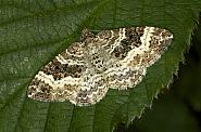 Common Carpet, Epirrhoe alternata, Co Louth