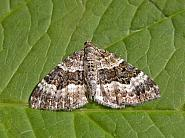 70.061 Common Carpet, Epirrhoe alternata, Co Wicklow