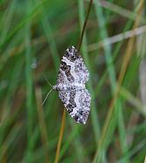 Common Carpet, Epirrhoe alternata, Co Donegal