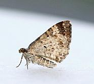 Common Carpet, Epirrhoe alternata, Co Leitrim