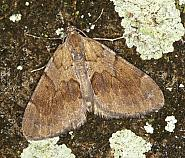 70.077 Pine Carpet, Thera firmata