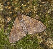 70.077 Pine Carpet, Thera firmata, Co Louth