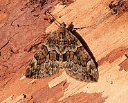 70.079 Spruce Carpet, Thera britannica