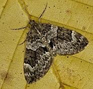 70.079 Spruce Carpet, Thera britannica, Co Louth