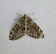 70.079 Spruce Carpet, Thera britannica, Co Wicklow