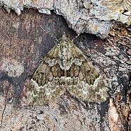 Spruce Carpet, Thera britannica, Co Leitrim