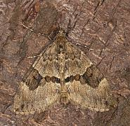 70.081 Grey Pine Carpet, Thera obeliscata