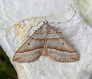 70.040 Lead Belle, Scotopteryx mucronata
