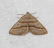 Lead Belle, Scotopteryx mucronata, Co Donegal