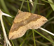 Shaded Broad-bar, Scotopteryx chenopodiata, Co Louth