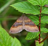 Shaded Broad-bar, Scotopteryx chenopodiata, Co Leitrim