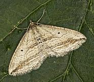 70.046 Oblique Carpet, Orthonama vittata, Co Louth