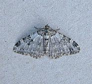 70.049 Garden Carpet, Xanthorhoe fluctuata, Co Wicklow