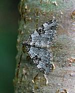 Garden Carpet, Xanthorhoe fluctuata, Co Leitrim
