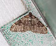 Garden Carpet, Xanthorhoe fluctuata, Co Donegal