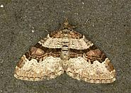 Flame Carpet, Xanthorhoe designata, Co Louth