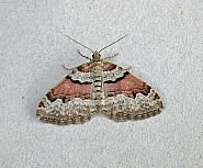 70.053 Flame Carpet, Xanthorhoe designata, Co Wicklow