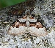 Flame Carpet, Xanthorhoe designata, Co Leitrim