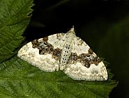 70.054 Silver-ground Carpet, Xanthorhoe montanata, Co Louth