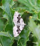 Silver-ground Carpet, Xanthorhoe montanata, Co Leitrim