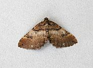 70.066 Shoulder Stripe, Earophila badiata