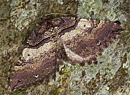 70.066 Shoulder Stripe, Anticlea badiata, Co Louth