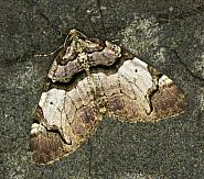 70.067 Streamer, Anticlea derivata, Co Louth