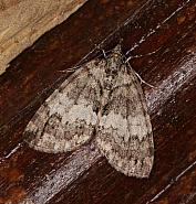 70.075 May Highflyer, Hydriomena impluviata, Co Louth