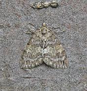 70.075 May Highflyer, Hydriomena impluviata, Co Wicklow