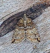 Ruddy Highflyer, Hydriomena ruberata, Co Leitrim