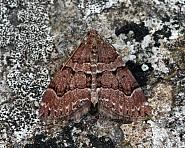 70.078 Chestnut-coloured Carpet Thera cognata