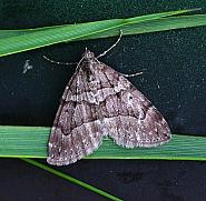 70.078 Chestnut-coloured Carpet Thera cognata, Co Donegal