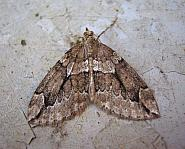 70.082 Juniper Carpet, Thera juniperata, Co Antrim