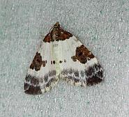 70.084 Blue-bordered Carpet, Plemyria rubiginata, Co Donegal