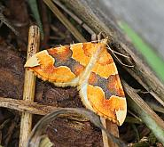 Barred Yellow, Cidaria fulvata, Co Leitrim