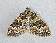 70.086 Broken-barred Carpet, Electrophaes corylata