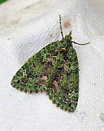 70.095 Red-green Carpet, Chloroclysta siterata