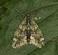 70.095 Red-green Carpet, Chloroclysta siterata, Co Louth