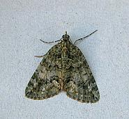 70.095 Red-green Carpet, Chlorclysta siterata, Co Wicklow