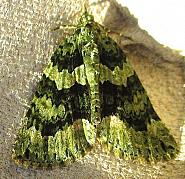 70.095 Red-green Carpet, Chloroclysta siterata, Co Cork