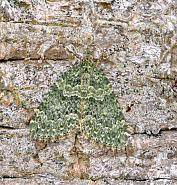 70.096 Autumn Green Carpet, Chloroclysta miata
